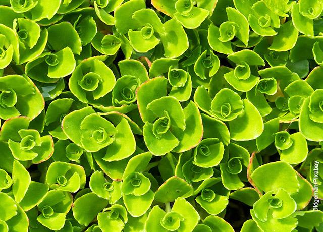 Foto de varias hojas de una planta suculenta verde