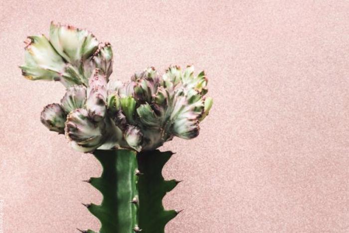 Foto del cactus candelabro