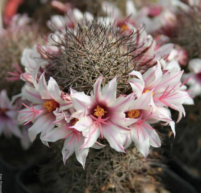 Foto del cactus de flores rosas