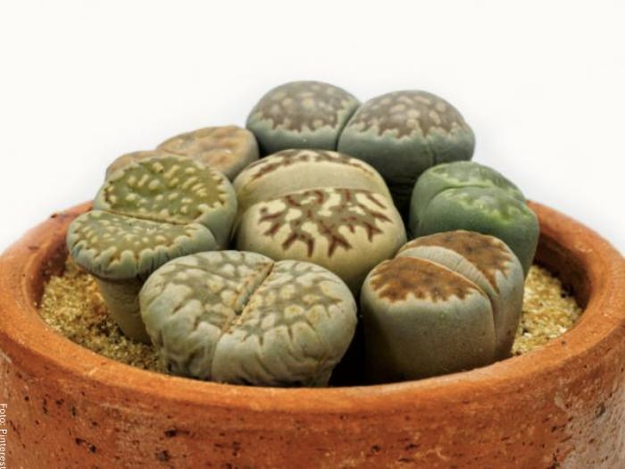 Foto del cactus piedra