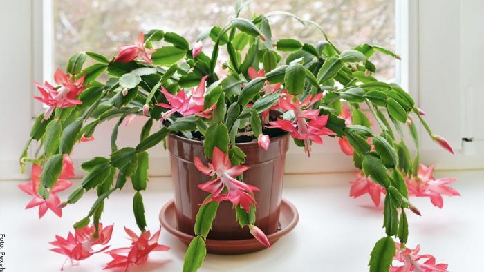 Foto del cactus de navidad