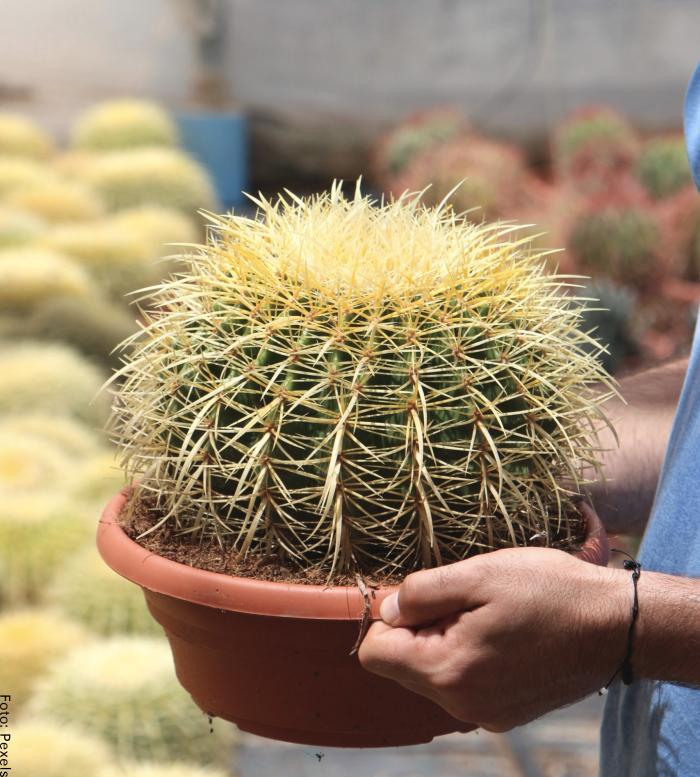 Foto del cactus asiento de suegra