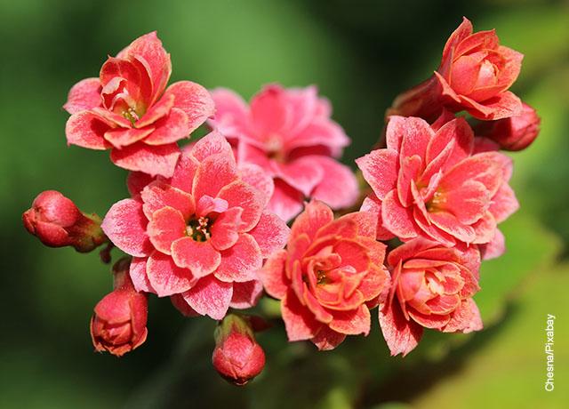 Foto de una planta kalanchoe roja