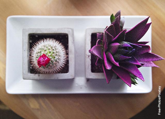 Foto de plantas ornamentales cactus en una maceta