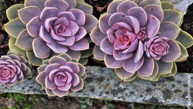 Foto de una planta morada que ilustra los tipos de suculentas