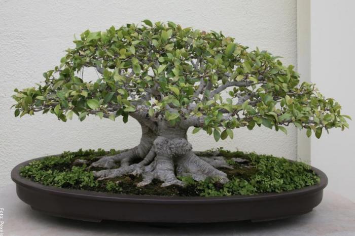 Foto de un bonsai ficus