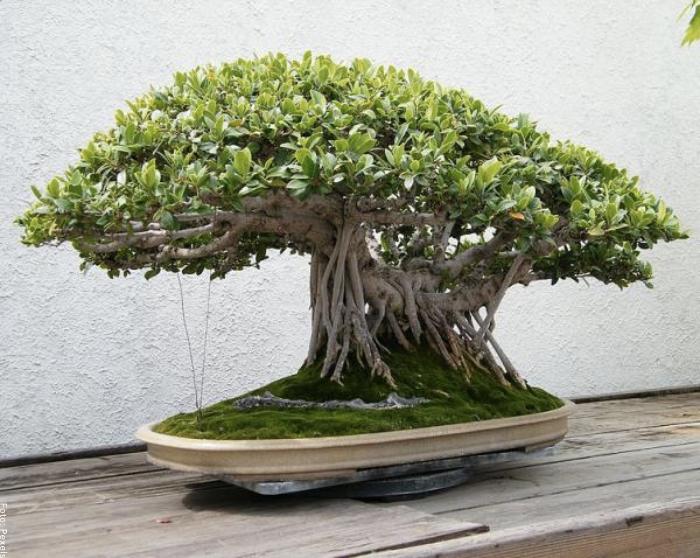 Foto de un bonsai en matera
