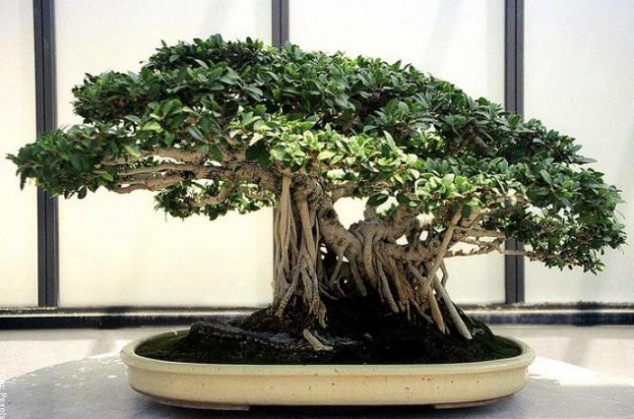 Foto de un bonsai verde y con buen follaje