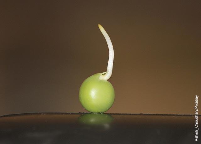 Foto de una semilla de arveja germinando