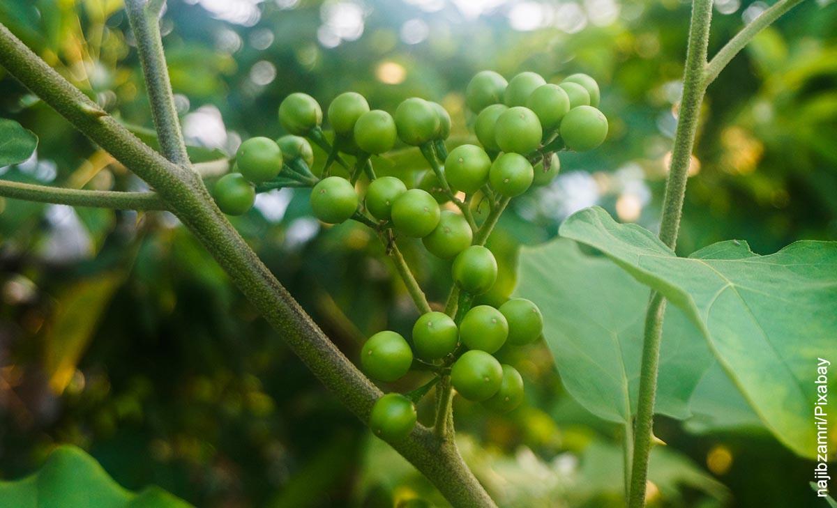 Foto de una planta de guisantes que muestra cómo cultivar arvejas