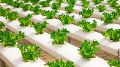 Foto de plantas que muestran cómo hacer un cultivo hidropónico