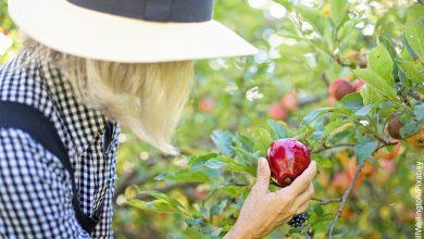 Foto de una mujer recogiendo manzanas que muestra c´pmo hacer un huerto de casa