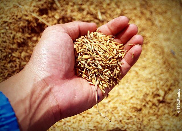 Foto de una mano sosteniendo muchos granos de arroz