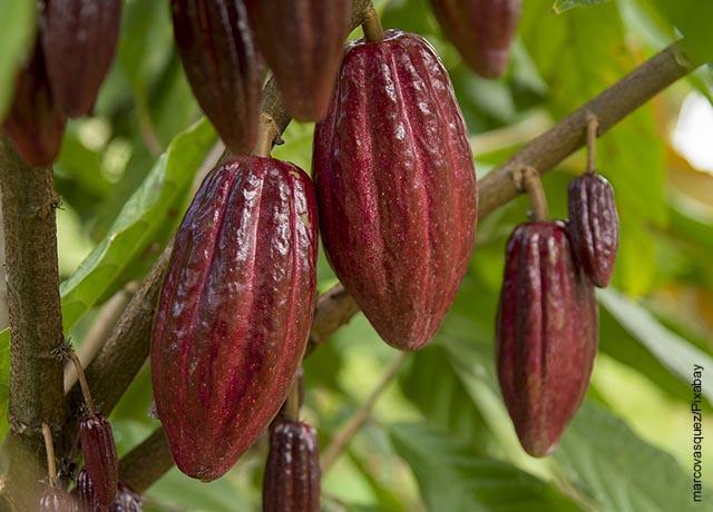 Foto del fruto de un árbol que ilustra cómo sembrar cacao
