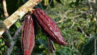 Foto de una rama de un árbol de cacao