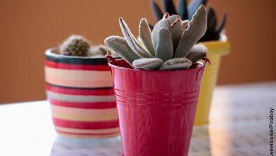 Foto de dos plantas que muestran cómo sembrar cactus