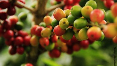 Foto de granos de café en una mata