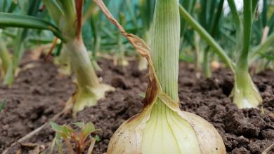 Cómo sembrar cebolla cabezona, ¡trucos prácticos!