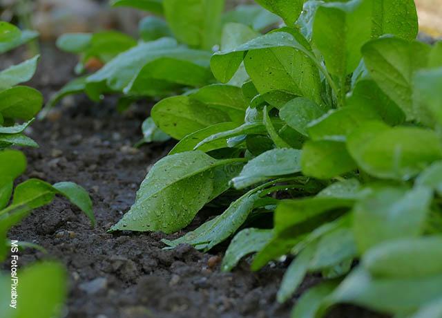 Foto de hojas de espinaca en el suelo