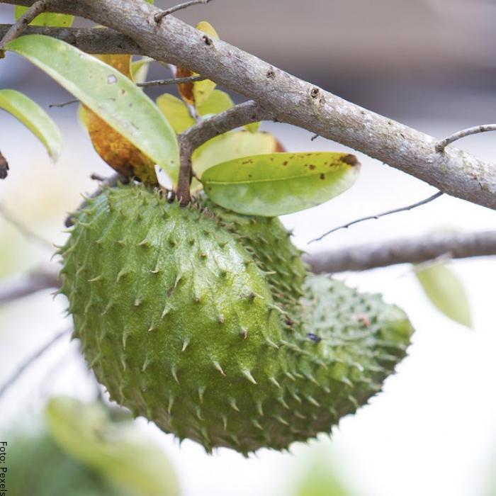 Foto de una guanábana en árbol