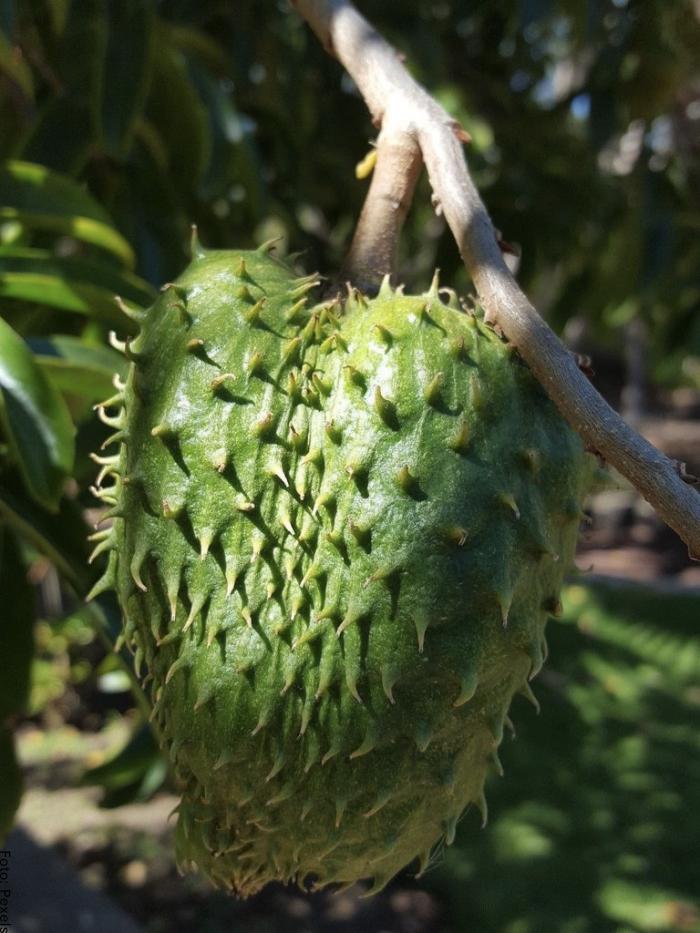 Foto de una guanábana en la planta