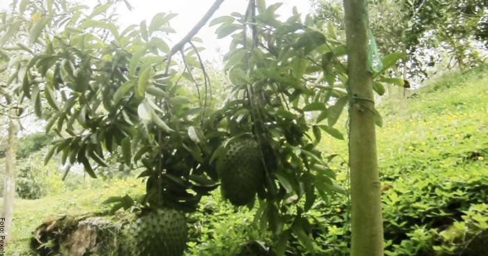 Foto de una planta de guanábana