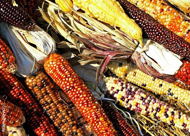 Foto de diferentes clases de maíz