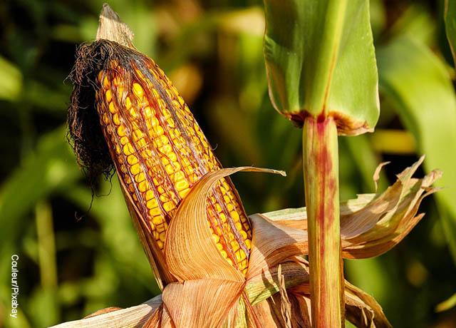 Foto de maíz en una planta