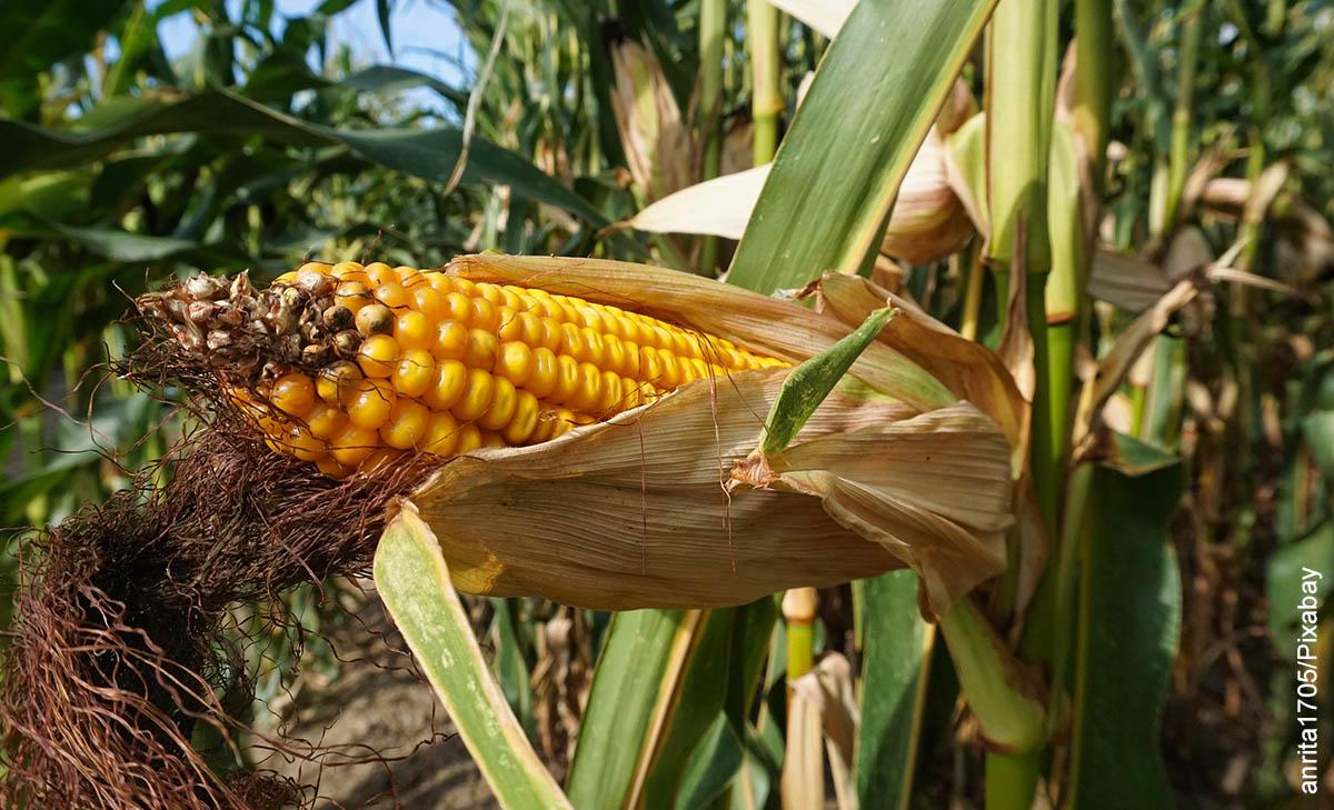 Foto de una mazorca en un maizal que ilustra cómo sembrar maíz