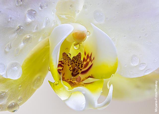 Foto de los pétalos mojados de una orquídea blanca