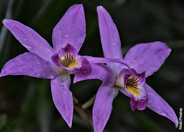 Foto de dos flores silvestres moradas