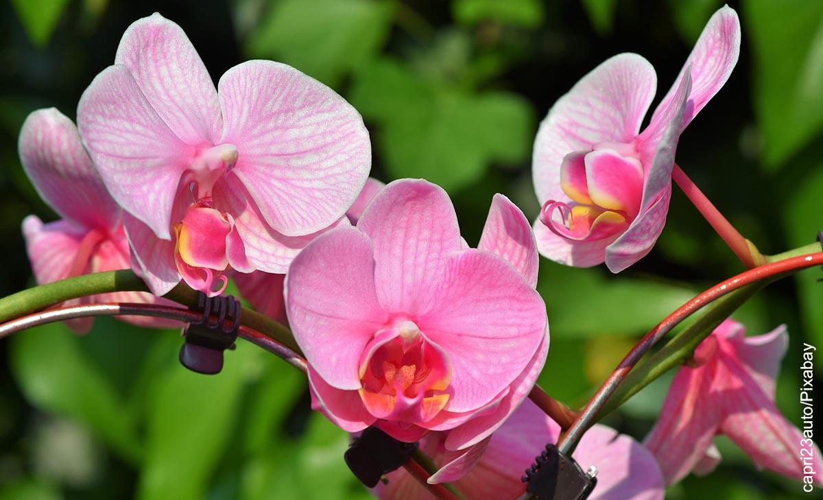 Foto de plantas rosadas que muestra cómo sembrar orquídeas
