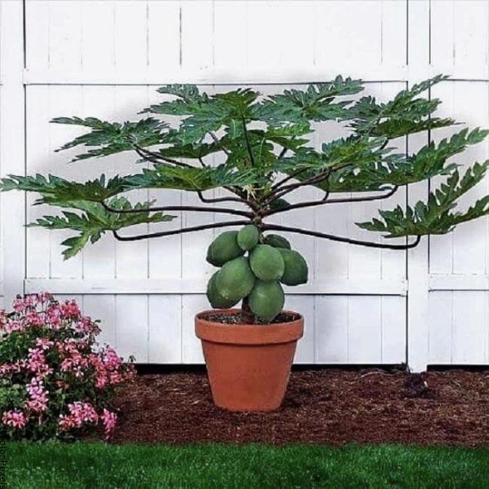 Foto de un árbol de papaya