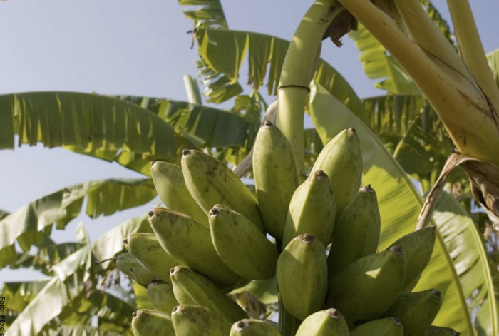 Foto de los plátanos en la planta