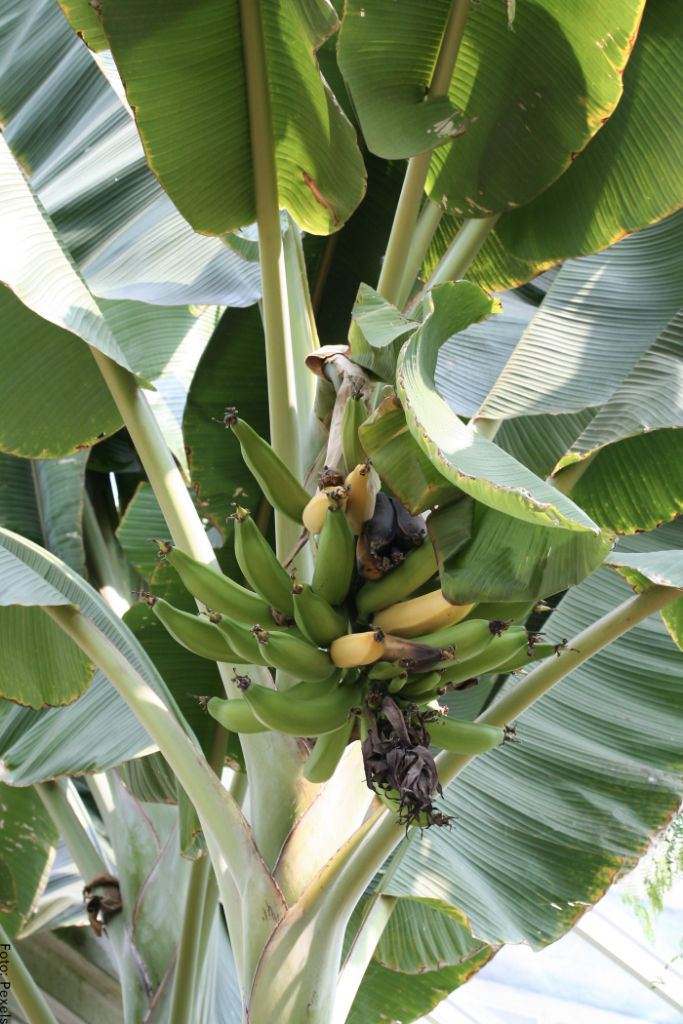 Foto de una planta de plátano