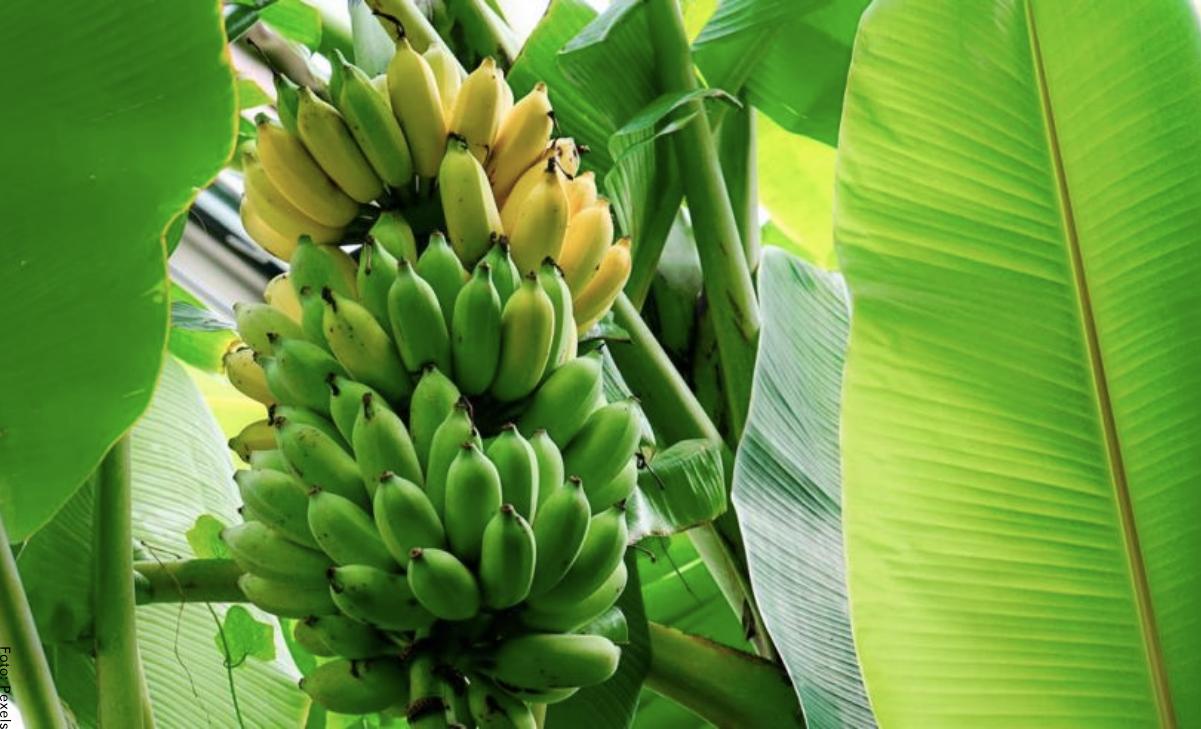 Cómo sembrar plátano en casa, ¡es fácil!