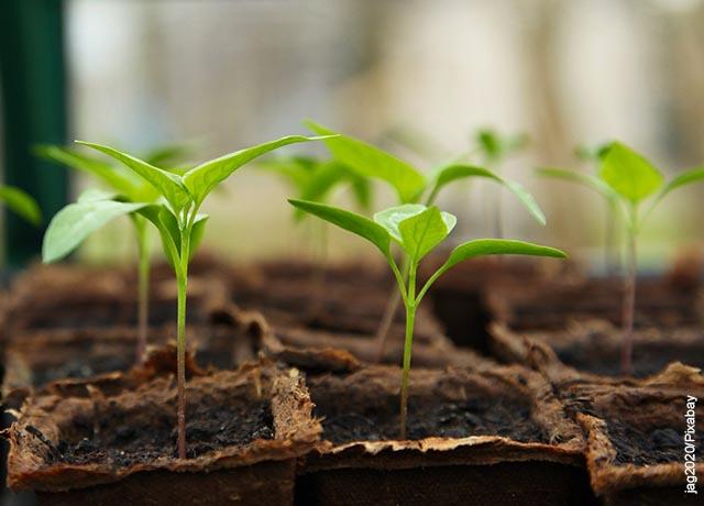Foto de pequeñas plantas en un semillero