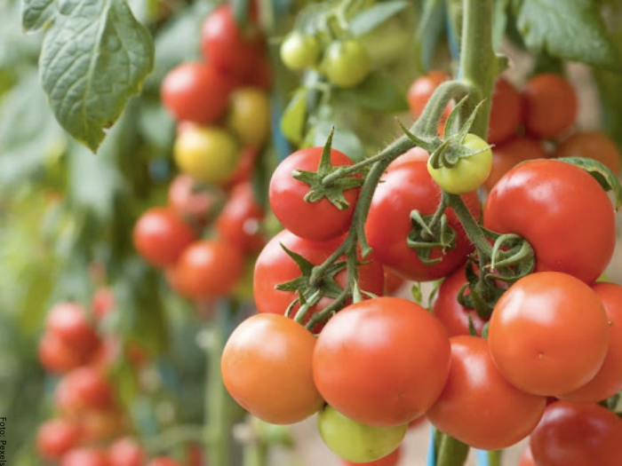 Foto de una planta de tomate cherry