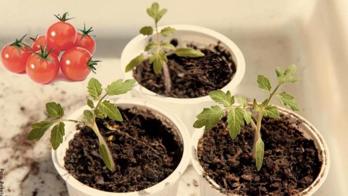 Foto de brotes de tomate cherry
