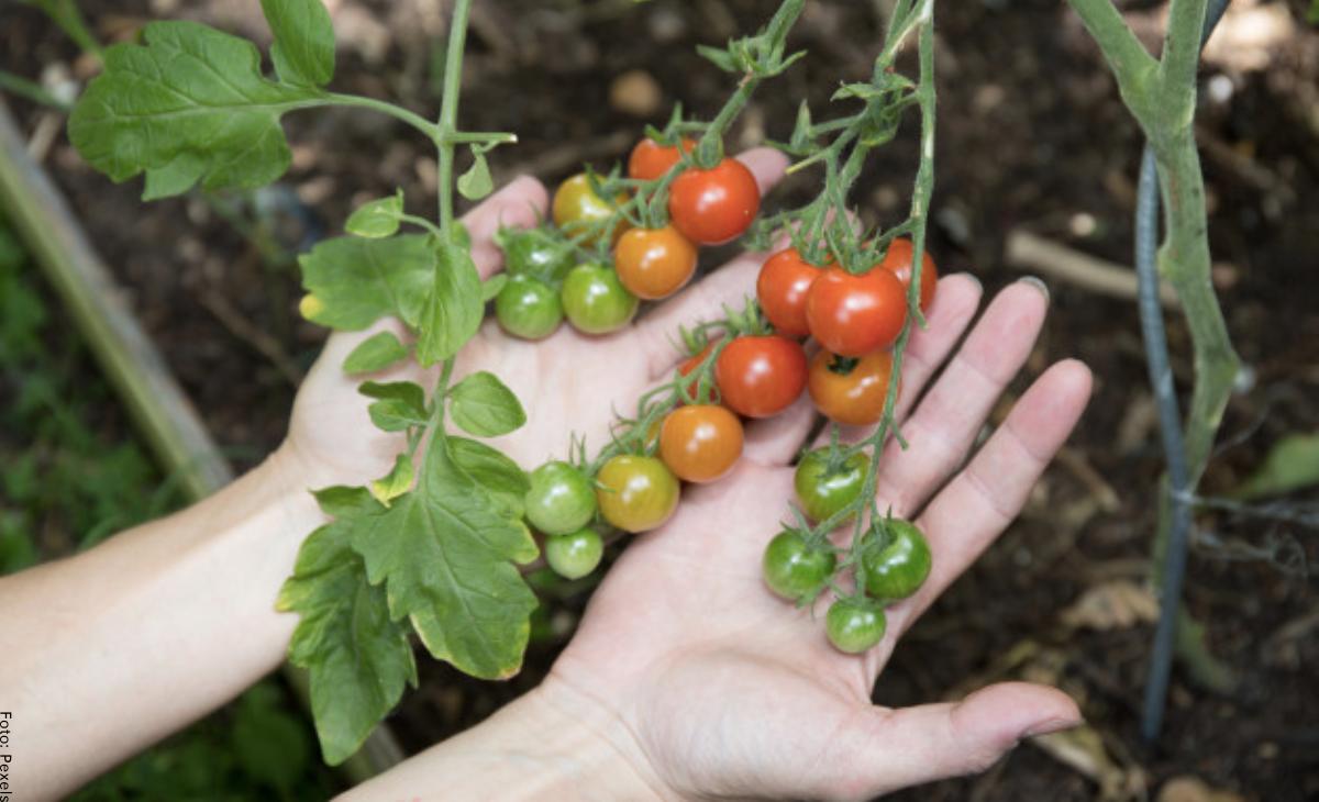 Cómo sembrar tomate cherry de la manera correcta
