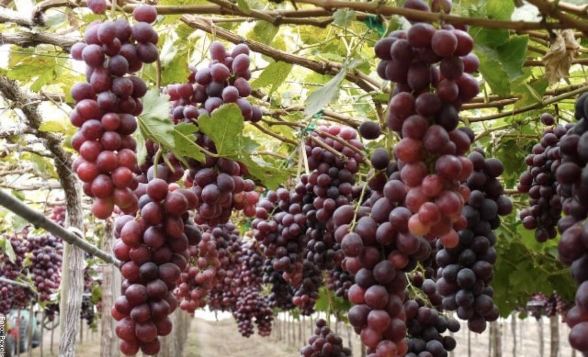 ¿Cómo sembrar uvas en tu propia casa?