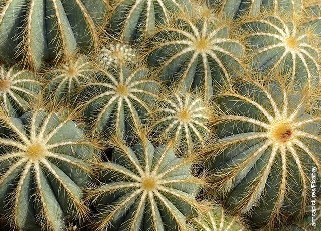 Foto de varios cactus redondos con espinas