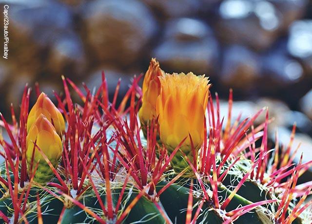 Foto de un cactus de espinas rojas con flores amarillas
