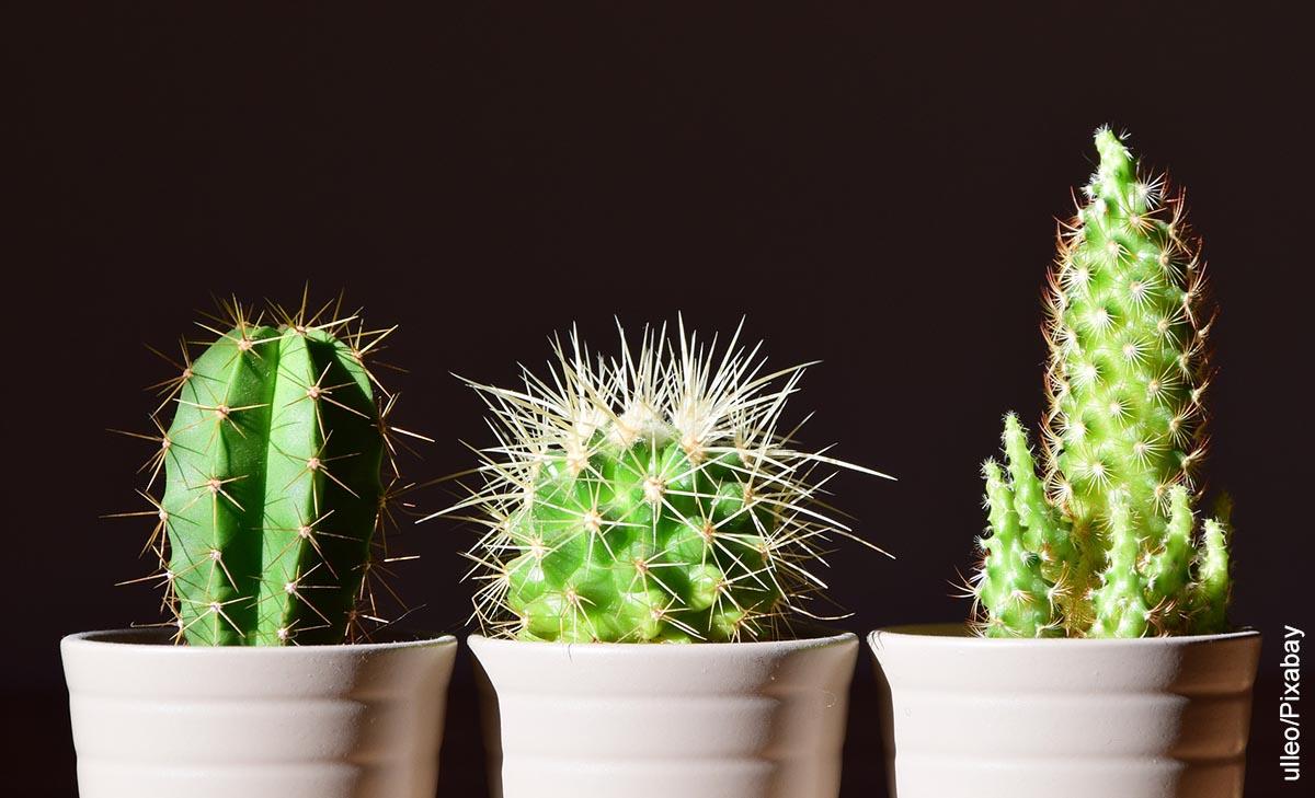 Foto de tres plantas suculentas que ilustran los nombres de cactus