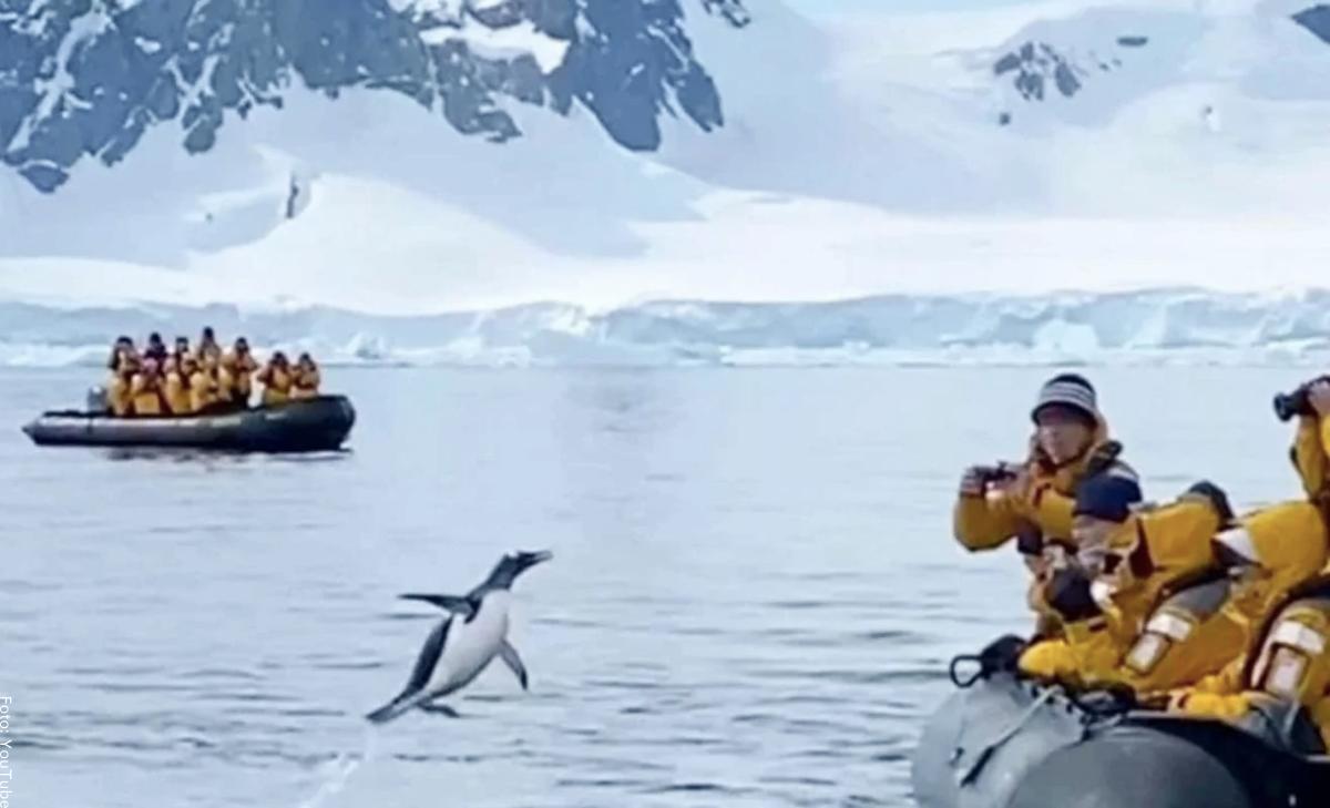 Pingüino escapó del peligro al subirse a un bote con turistas