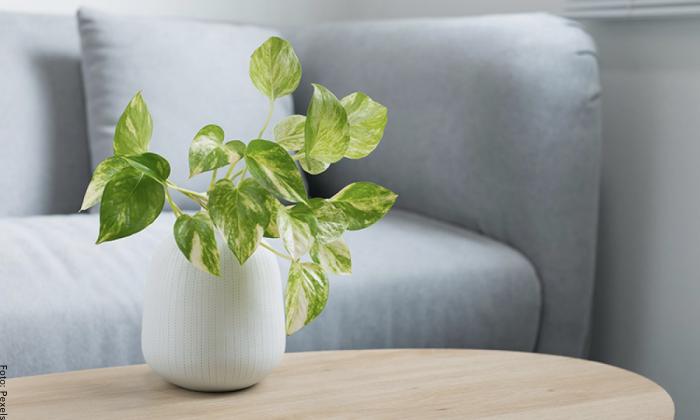 Foto de una planta de poto
