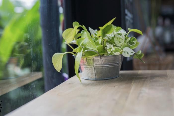 Foto de planta de poto