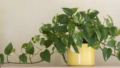Poto: cuidados que necesita esta planta