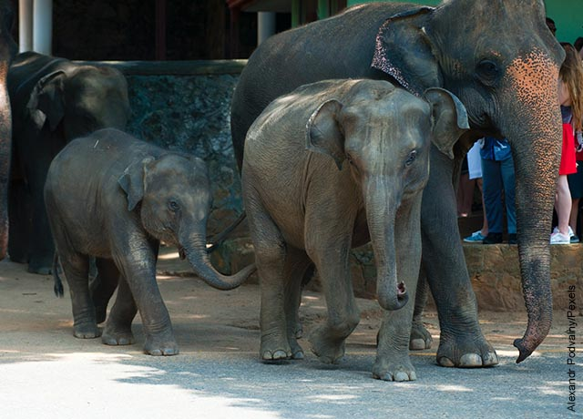 Foto de tres elefantes caminando