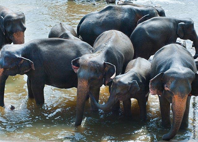 Foto de varios elefantes cruzando un río